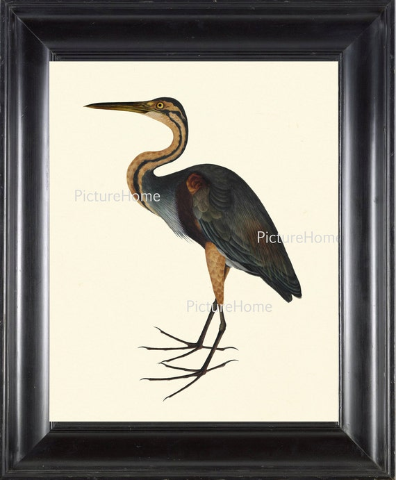 Purple Heron Bird Print Beautiful 8x10 Antique Bird