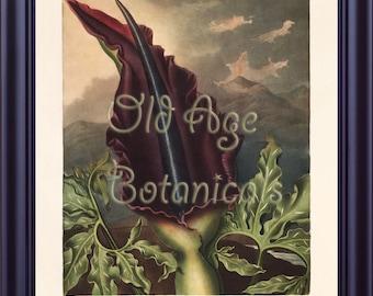 Botanical Print Vintage Large 11x14 Art Print The Dragon Arum Burgundy Flower THORNTON The Temple of Flora Wall Home Decor Hanging  LP0069