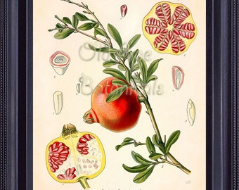 KOHLER Botanical Print 8x10 Vintage Antique Art Plate Chart Red POMEGRANATE Fruit Medicinal Plant Seeds Kitchen Wall Decor to Frame BF0712