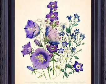 LOUDON Botanical Print 8x10 Vintage Art Plate Purple Lilac Lavender Campanula Flowers Bellflowers Interior Design Wall Decoration BF1108
