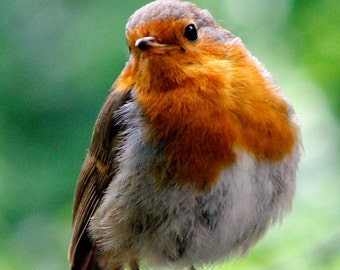 Christmas Greetings Cards, Robin 5 x A6 Notelets Note cards - card and envelope blank for own greeting