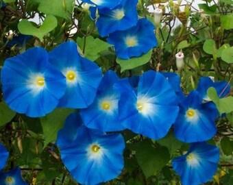 50 *HEIRLOOM* Heavenly Blue Morning Glory Seeds