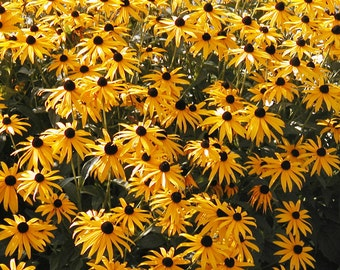 1,000 *HEIRLOOM* Black Eyed Susan Seeds