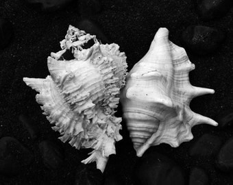 Beach Photography Seashell Print Sea Shell Photo Cream
