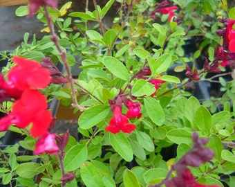 Red Flame Salvia (Ornamental) Live plant