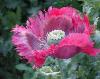 Papaver Somniferum Poppy Seeds - Fresh 2015 Harvest