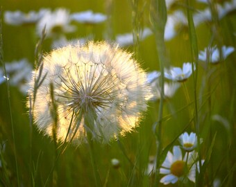 Dandelion in a Field of Daisies by Pitts Photography, Fine Art Photography