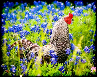 Rooster and Bluebonnets - Texas Photography - Spring Photo - Springtime -  Bird Prints - Wildflowers - Blue
