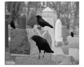 Graveyard Crows, Ravens, Halloween Crows, Ravens, Black And White - Cawing Crow