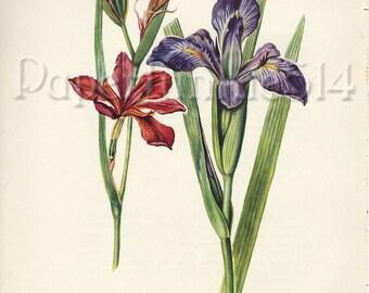 Vintage Book Plate - Red Iris- Botanical - Flowers - Wild Flowers / Iris Fulva / Southern Blue Flag