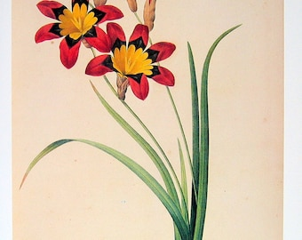 Redoute Flower - Ixia Tricolor - 1979 Vintage Flowers Book Plate p72