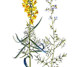 Butter and Eggs, Blue Toadflax Flowers - Botanical Print - 1954 Vintage Book Page - 11 x 8