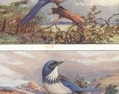 Vintage Bird Print, Book Plate, Blue Jays, Florida Jay, Woodhouse Jay, Allan Brooks, Antique Bird Illustration, 1930s