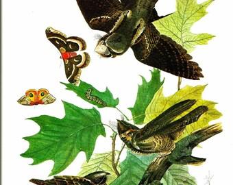 Bird Print - Whip Poor Will - Vintage Art Print - Audubon Book Plate, Print - Nighthawk - Birds of America - John James Audubon - 1970s