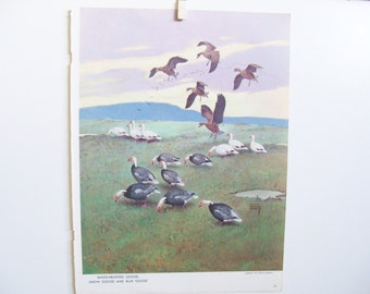 Bird Print - Goose Print - Snow Goose - Vintage Bird Print - Blue Goose Book Print - Lynn Bogue Hunt - Walter Foster - Field and Stream Mag