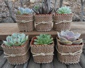 8 Rosette Succulents Wrapped In Burlap, Twine, Shower Gifts, Rustic Wedding, Great Favors, Barn Wedding