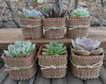 8 Succulent Favors Wrapped In Burlap, Rosette, Twine, Shower Gifts, Rustic Wedding, Great Favors, Barn Wedding
