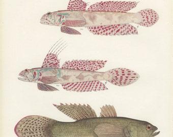 Lace Gobi, Blind Gobi, Spangled Sleeper, Gudgeon, Vintage Fish Print 69, 1951, Margaret Smith, Ichthyology, Natural History