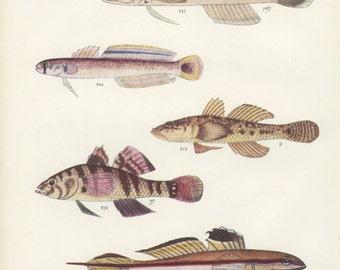 Mud Sleeper, Bareyed Goby, Sad Glider Fish, Vintage Fish Print 73, 1951, Margaret Smith, Ichthyology, Natural History