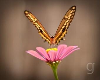 """Butterfly Art - Giant Swallowtail - Nature Print Wall Art Flower Garden Pink Zinnia """"Self Propelled Flower"""""""