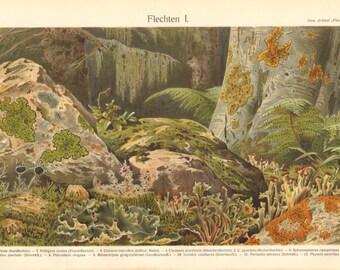 1903 Lichens, Dog Lichen, Island Moss, Lipstick Powderhorn, Pixi Cup, Map Lichen, Lecidea Lichen, Orange Wall Lichen Antique Lithograph