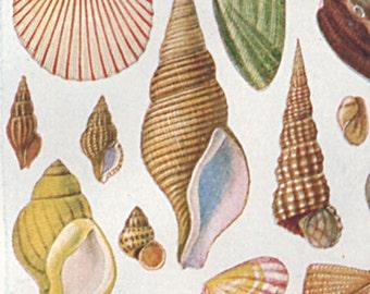 Vintage Sea Shells Print 1920 1178, antique lithograph