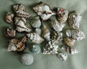 ADDITIONAL 10% OFF...SALE  21 Gorgeous Seashells Murex Variety of Sizes
