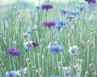 Cornflower, Flower Photography, Shabby Chic Decor, Nursery Decor - Available Sizes (5x7) (8x12) (12x18) (16x24) (20x30) (24x36)