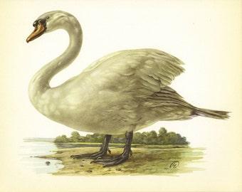 SALE Duck Print, Bird Print, Lithograph, Home Decor, Vintage Illustration, Vintage Print, Art plate, Ornithology, Mute Swan, A-26