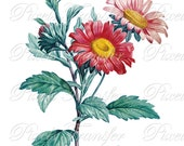GERBERA Instant Download, wedding clipart, red flowers, pink flower digital downloads botanical illustration african daisy Redoute 283
