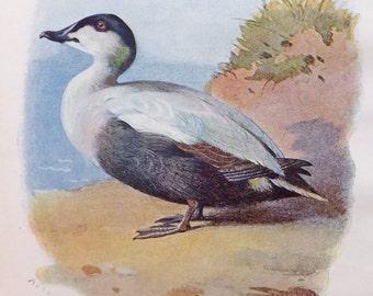 Eider Duck, Bird Print, Antique Bird Illustration, Picture of Duck, A. Thorburn