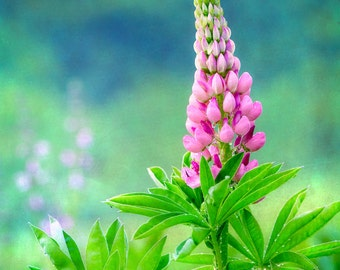 Flower Photography, Pink Lupin, Fine Art Print, Summer Rain, Pink Blue Green, Cool Colors, Flower Photo, Garden, Mother's Day, Home Decor