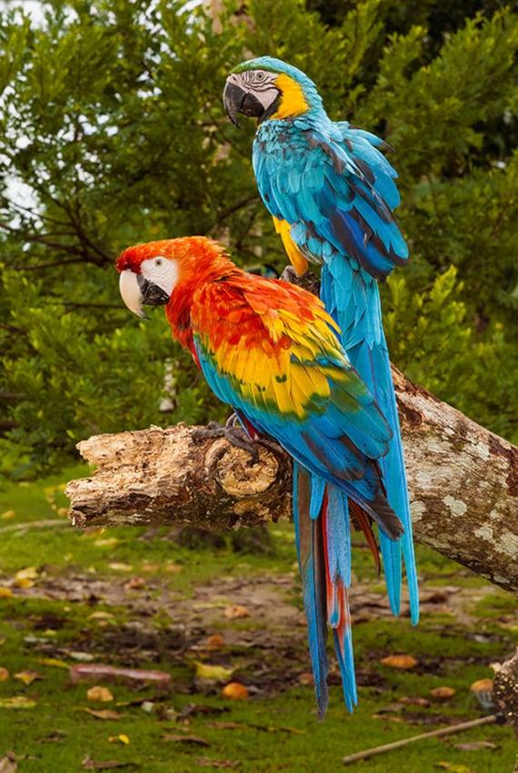 v gel am amazonas papageien regenwald sumpfland wildes. Black Bedroom Furniture Sets. Home Design Ideas