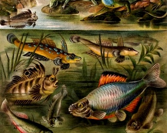 """Antique print.1904.Lithograph in color""""Mating Colors""""112 year old print.Fish print.Natural History print.Old print.6,2x9,5 inches."""