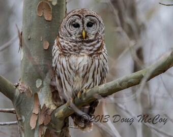 Barred Owl at Reelfoot Lake. #0933