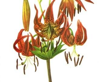 Flower Print - Turk Cap Lily - Vintage Art Print - Botanical Book Plate, Print - Wild Flowers of America - Columbia Lily - Mary Vaux Walcott