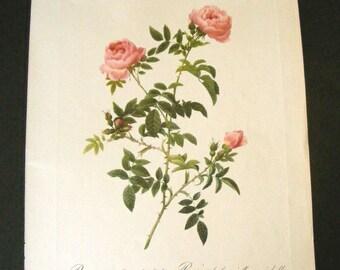 "Large 16"" Vintage Botanical Print Antique Rose, flowers, plant print botanical print, bookplate 2 art print, pink plants plant wall"