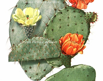 Antique Botanical Art Print Yellow Flowering Cactus No.9 Southwestern Summer Desert Wedding Housewarming Wall Decor Wall Art Print 8x10