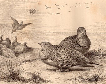 1869 Sandgrouse, Antique Print, Pallas, Syrrhapte paradoxal, Brehms, Natural History, Bird Zoology, French Engraving, Kazakhstan, Mongolia