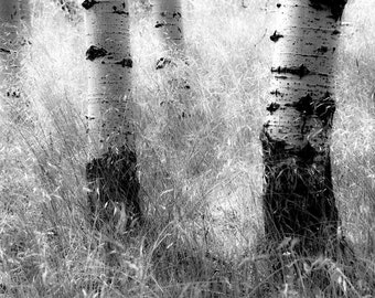 Aspen Trees Aspens Summer Grass Forest Woods Woodland Rustic Cabin Lodge Photograph
