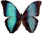 Real Morpho deidamia Butterfly, spread for your project or laminated or unmounted