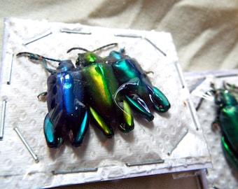 OVERSTOCK: Trio of Frog Beetles, Sagra longicollis,  Real