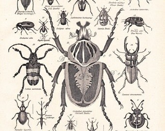 vintage beetle print, 'Coleoptera', The Beetle Family, from a 1904 Encyclopedia Britannica   image no. 1107