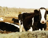 Cows dairy farm stock photo image free use