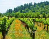 Poppies in the Vineyard...