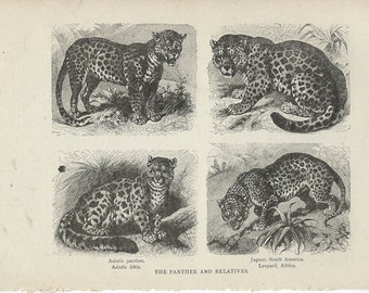 1917 Vintage Book Plate - Panther / Vintage Illustration / The Panther And Relatives / Big Cats