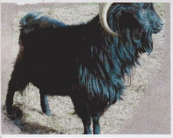 Adopt Black Jack our Cashmere Goat for an 1 month,and receive 2 batts