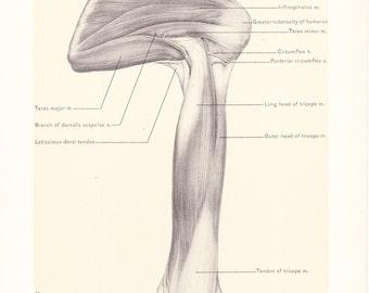 1899 Human Anatomy Print - Tricep - Vintage Antique Medical Anatomy Art Illustration for Doctor Hospital Office