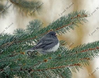 Dark Eyed Junco Winter Bird in Pine Tree Fine Art Original Print