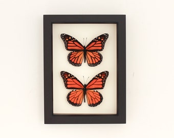 Real Framed Monarch Male and Female Monarch Butterfly